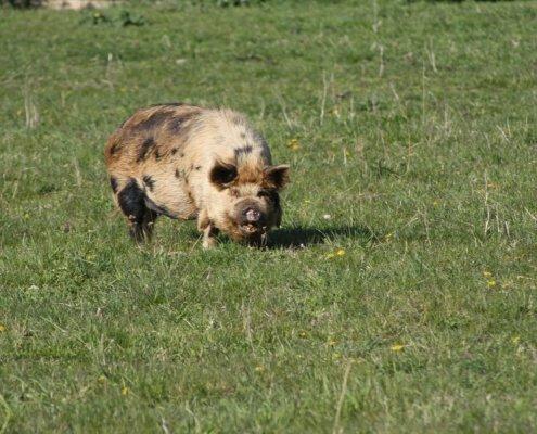 Freilandschweine Haidlhof